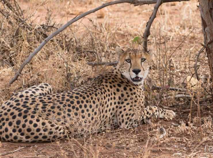 Flow : Cheetah - Tarangire NP
