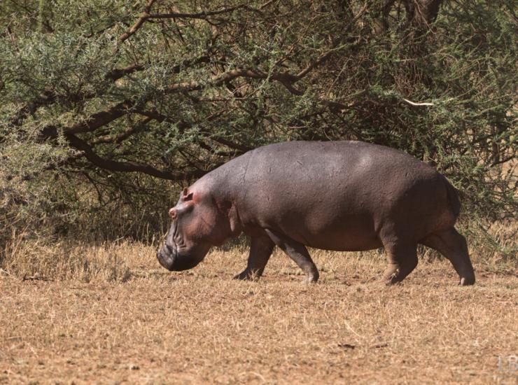 Flow : Hippo - Serengeti NP