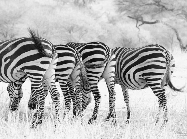 Flow : Zebra - Tarangire NP